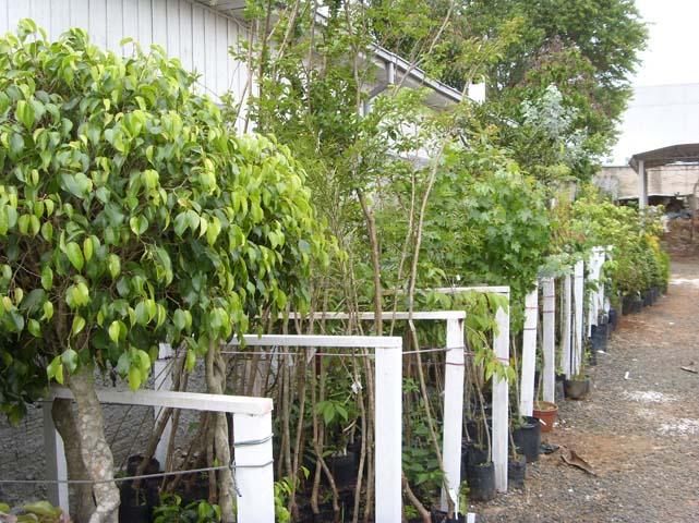 flores jardim sombra:Árvores de sombra – ::::Floricultura Bom Jardim, Floriculturas, em